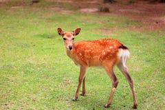 Sika Deer. (Cervus nippon) in Japan Royalty Free Stock Images