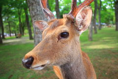 Sika Deer Stock Photos