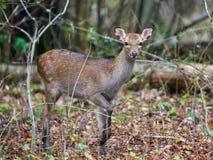 Sika Deer (cervus nippon) Stock Photos