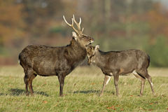 Sika deer, Cervus nippon. Male and female on grass, Kent Royalty Free Stock Images