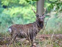 Sika Deer (cervus nippon). Male sika deer hiding in its natural habitat Stock Photos