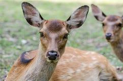 Sika Deer Cervus nippon  at Miyajima Itsukushima island. Sika Deer Cervus nippon at Miyajima Itsukushima island, Japan stock photos