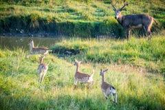 Sika Deer. (Cervus nippon) near water Royalty Free Stock Images