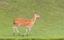 Sika deer (Cervus Nippon) running Stock Images
