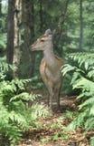 Sika deer, Cervus nippon. Single female in wood, Kent Royalty Free Stock Image