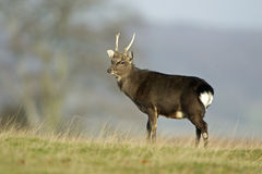 Sika deer, Cervus nippon Royalty Free Stock Photo