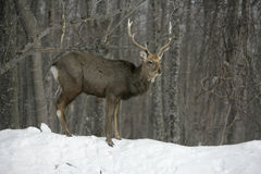 Sika deer, Cervus nippon, Stock Photography