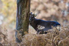 Sika deer, Cervus nippon Royalty Free Stock Photos