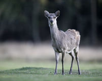 Sika deer, Cervus nippon, Royalty Free Stock Images