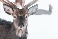 Sika deer , Cervus nippon, spotted deer. Macro portrait, space for text stock images