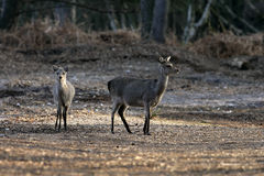 Sika deer, Cervus nippon Stock Photos
