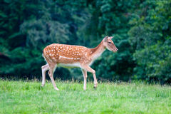 Sika deer - Cervus Nippon. Royalty Free Stock Images