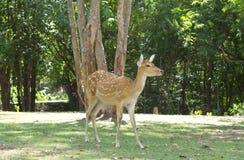 Sika deer, Cervus nippon Stock Photos