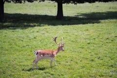 Sika Deer Cervus nippon. Young Buck Sika Deer Cervus nippon Stock Photo