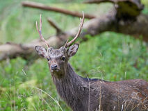 Sika Deer (cervus nippon). Young male sika deer hiding in its natural habitat Royalty Free Stock Photography