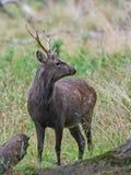 Sika Deer (cervus nippon). Young male sika deer hiding in its natural habitat Stock Images