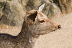 Sika Deer. Close up of a female Sika Deer at Nara Park in Japan Stock Photos