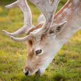 Sika deer. Close up shot of sika deer portrait Stock Images