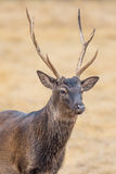 Sika Deer close up. Wild South Texas Sika deer buck close up. Also known as a Japanese or Spotted Deer Stock Photo