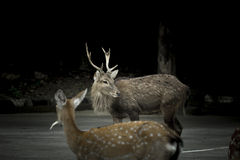 Sika deer in the dark background. Royalty Free Stock Photography