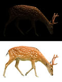 Sika deer on dark and white background Stock Photography