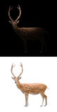 Sika deer on dark and white background. Sika deer isolated and sika deer in the dark Stock Photography