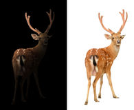 Sika deer on dark and white background. Sika deer isolated and sika deer in the dark Stock Image