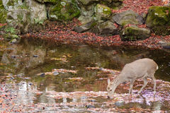 Sika deer drinking water in autumn Royalty Free Stock Photos