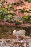 Sika deer drinking water in autumn Stock Images