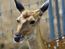 Sika Deer Face. Royalty Free Stock Photo