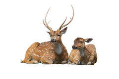 Sika deer family sitting isolated on white. Sika deer family sitting and relax isolated on white background Stock Images