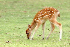 Sika deer fawn Stock Photo