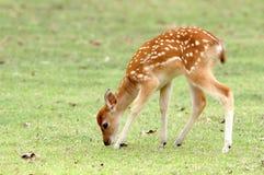 Free Sika Deer Fawn Stock Photo - 19046280