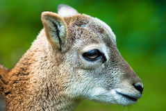 Sika deer fawn Stock Image