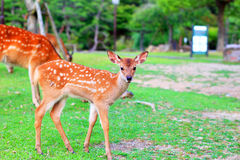 Sika Deer fawn Royalty Free Stock Photos