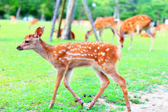 Sika Deer fawn Stock Images
