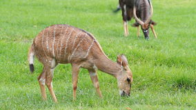 Sika deer fawn eating grass stock video