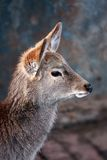 Sika deer-features Royalty Free Stock Photography