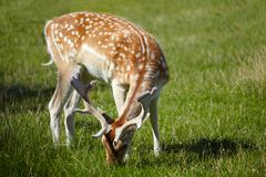 Sika deer feeding on green grass Stock Images