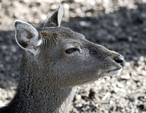 Sika deer 5 Stock Photos