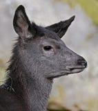 Sika deer 7 Royalty Free Stock Image
