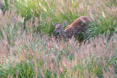 The Sika deer. This female Sika deer is hiding in the thick grass.It looks like want to run Stock Images
