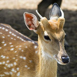 Sika Deer Female. Stock Photos