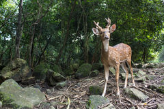 Sika Deer in the forest Royalty Free Stock Image