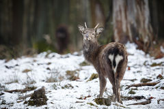 Sika deer in the forest of europe Royalty Free Stock Image