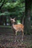 Sika deer. Deer in the forest,Nara Japan Stock Image