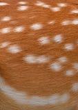 Sika deer fur Royalty Free Stock Photos