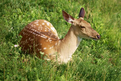 Sika Deer on the grass Royalty Free Stock Photography
