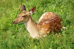 Sika deer on the grass Stock Image