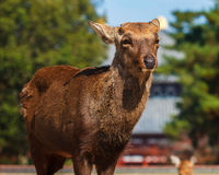 Sika Deer at the Great South Gate of Todaiji Temple Royalty Free Stock Image
